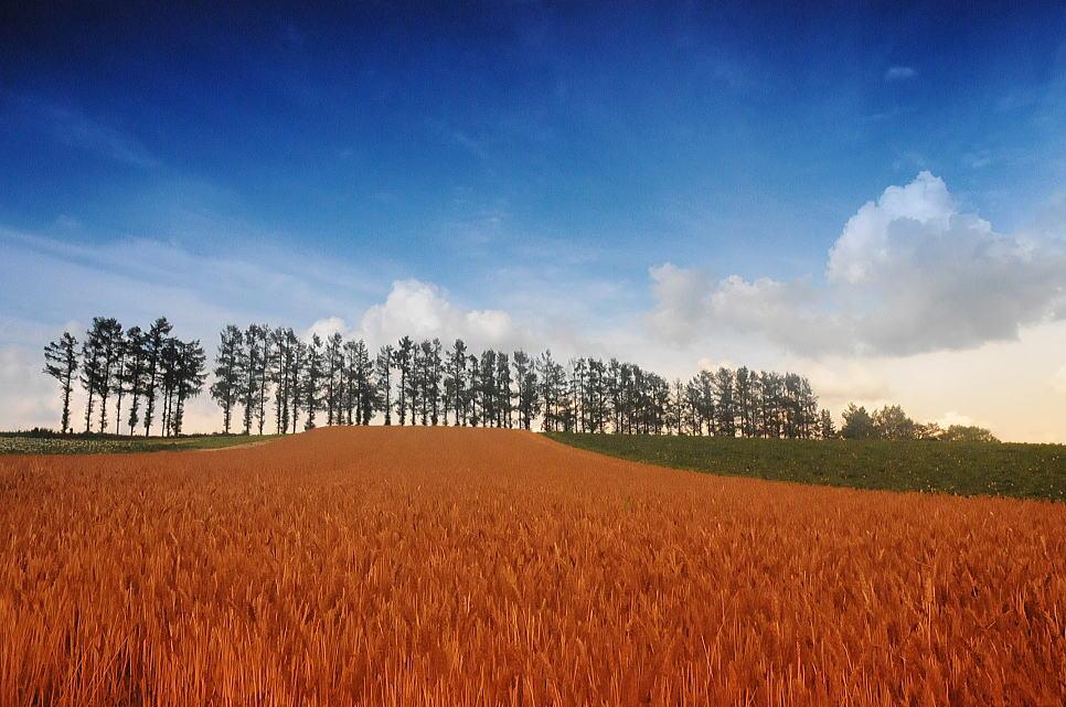美瑛の赤麦