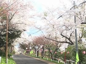母恋富士坂桜並木